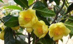 Trà hoa vàng - Nữ hoàng trà, công dụng và cách sử dụng hiệu quả
