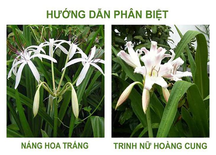 Điểm khác nhau giữa náng hoa trắng và trinh nữ hoàng cung