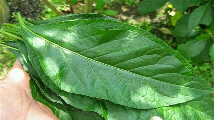 Tác dụng của lá mật gấu đã được kiểm chứng trong Đông y và Tây y