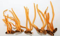 Đông trùng hạ thảo bọ xít độc lạ và nhiều công dụng bất ngờ có thể bạn chưa biết