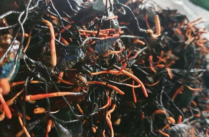 Đông trùng hạ thảo bọ xít