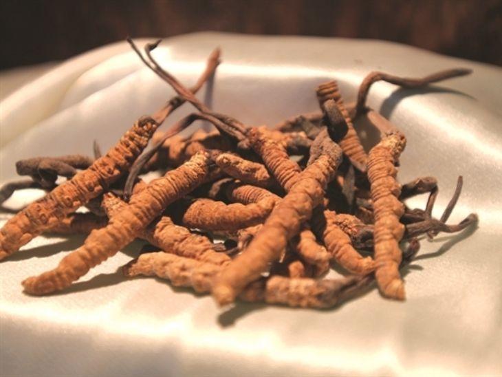 Trùng thảo tự nhiên tại Tây Tạng có mức giá cao hơn nhiều so với đông trùng hạ thảo nhân tạo
