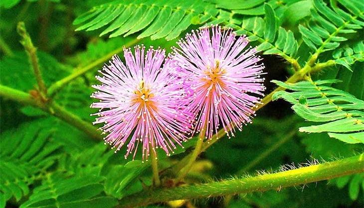 Cây xấu hổ hay còn được gọi là cây trinh nữ, là vị thuốc có tính hàn, vị ngọt, có tác dụng an thần, chữa đau nhức và tê bì chân tay
