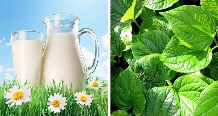 Kết hợp lá lốt và sữa bò tươi vừa giúp trị bệnh hiệu quả, vừa hỗ trợ tăng sức khỏe xương khớp