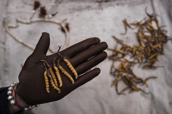 Đông trùng hạ thảo tươi Tây Tạng siêu đắt đỏ và quý hiếm