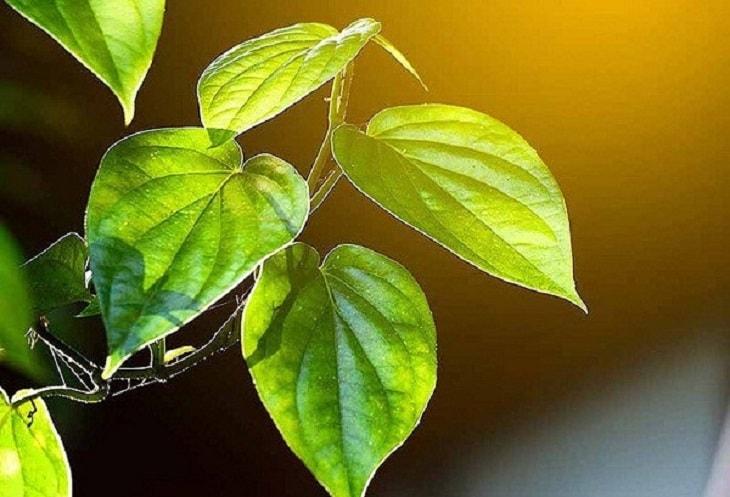 Điều trị vảy phấn hồng đơn giản bằng lá trầu không