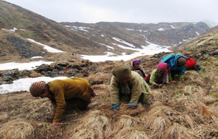 Loại có nguồn gốc từ Tây Tạng chứa hàm lượng dưỡng chất cao nhưng vô cùng quý hiếm và đắt đỏ, khỏ tìm