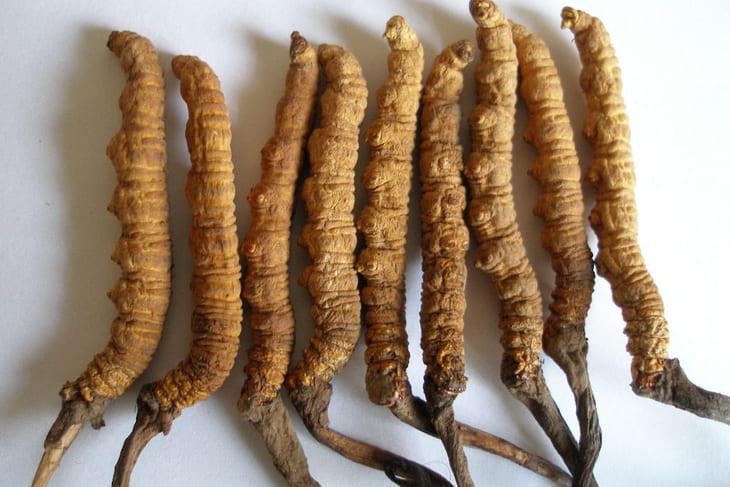 Đông trùng hạ thảo được sử dụng kết hợp với tổ yến có thể dùng cho cả người già, trẻ nhỏ hơn 5 tuổi, người trưởng thành