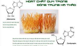 Hàm lượng cordycepin trong đông trùng hạ thảo là bao nhiêu và có tác dụng gì?