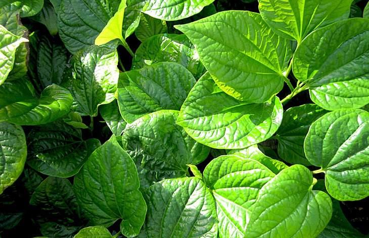 Các hoạt chất trong lá lốt có công dụng tiêu viêm, kháng khuẩn, sát trùng hiệu quả