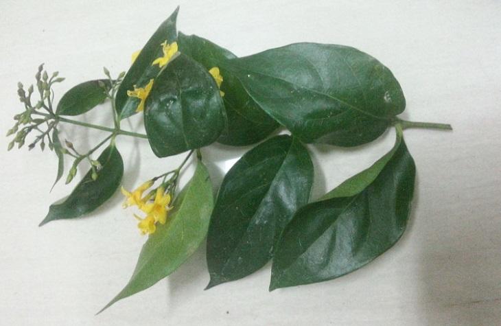 Trong lá có độc tính cực mạnh