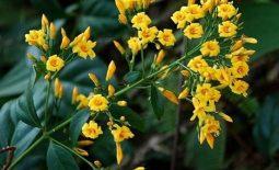 Lá ngón là một loại thực vật thường mọc nhiều ở vùng núi cao, có thân quấn và màu xanh