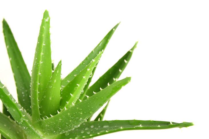 Bạn có thể sử dụng nha đam để chữa viêm da tiết bã cánh mũi