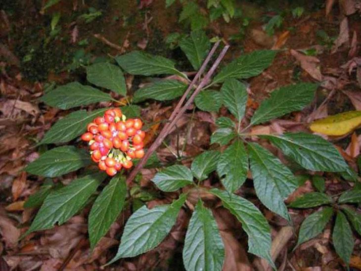 Sâm Ngọc Linh trong tự nhiên được tìm thấy nhiều ở núi Ngọc Linh