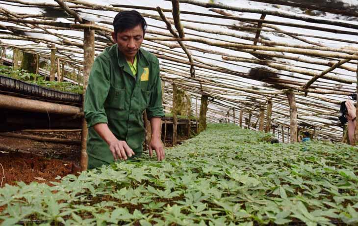 Sâm Ngọc Linh được trồng nhân tạo