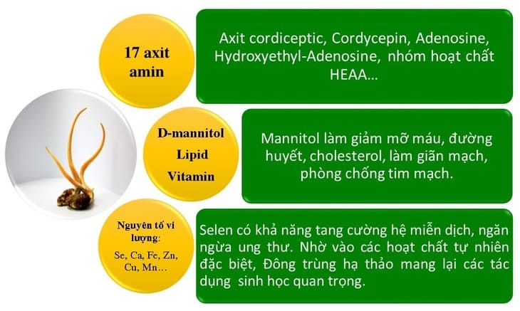 Thành phần có trong đông trùng hạ thảo quý hiếm và có thể hỗ trợ điều trị nhiều bệnh