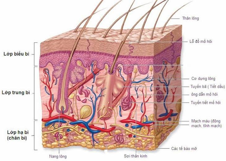 Cấu trúc da và nguyên nhân da khô mụn