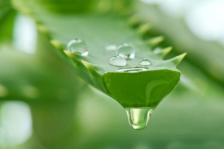 Nha đam có tác dụng giải độc, kháng viêm và thanh lọc cơ thể hiệu quả