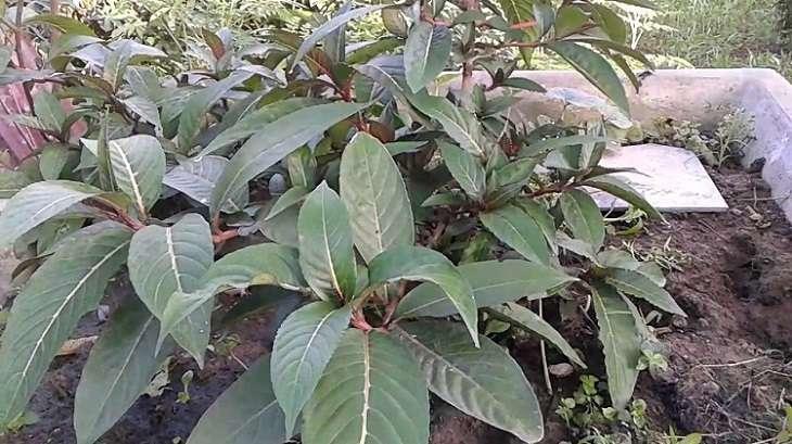 Chữa bệnh dạ dày bằng cây khôi có thể kết hợp với các dược liệu trong Đông Y
