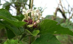 Hoa là bộ phận được dùng để làm thuốc