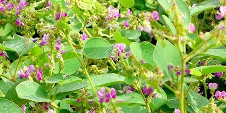 Kim tiền thảo hay còn có tên gọi dân gian là cây mắt trâu, là một trong những vị thuốc phổ biến được dùng để chữa thận yếu