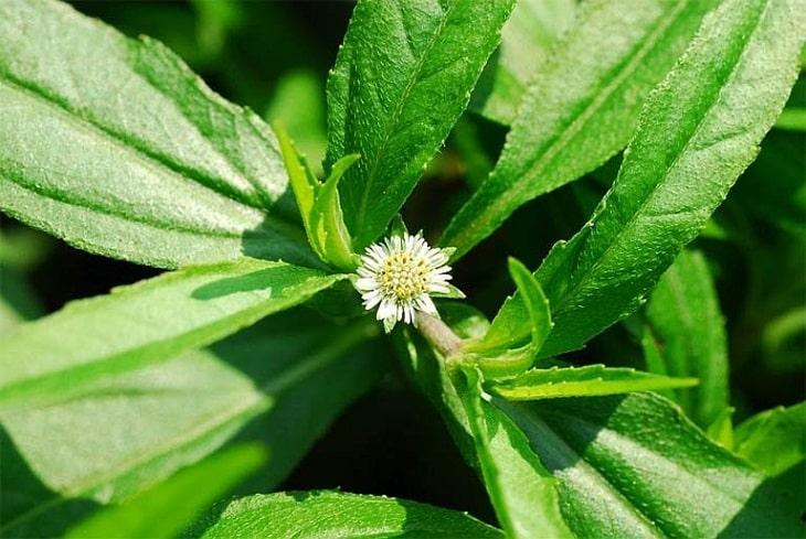 Cỏ nhọ nồi là một trong những cây thuốc nam được sử dụng để điều trị nhiều bệnh khác nhau, trong đó có bệnh sỏi thận