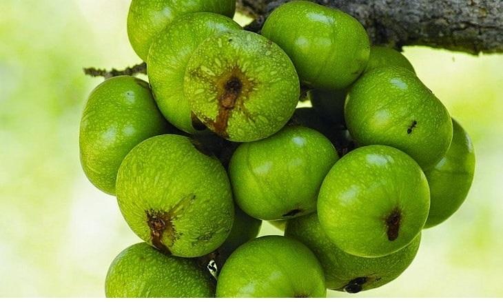 Sung có vị chát, tính mát, có tác dụng giải độc, kháng viêm và giảm các cơn đau do sỏi thận gây ra