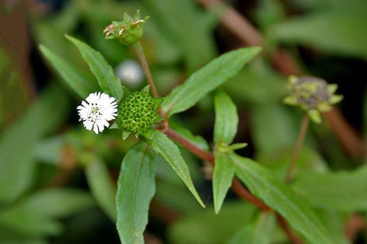Chữa suy thận bằng thuốc nam với cây cỏ mực là phương pháp điều trị bệnh vô cùng hiệu quả