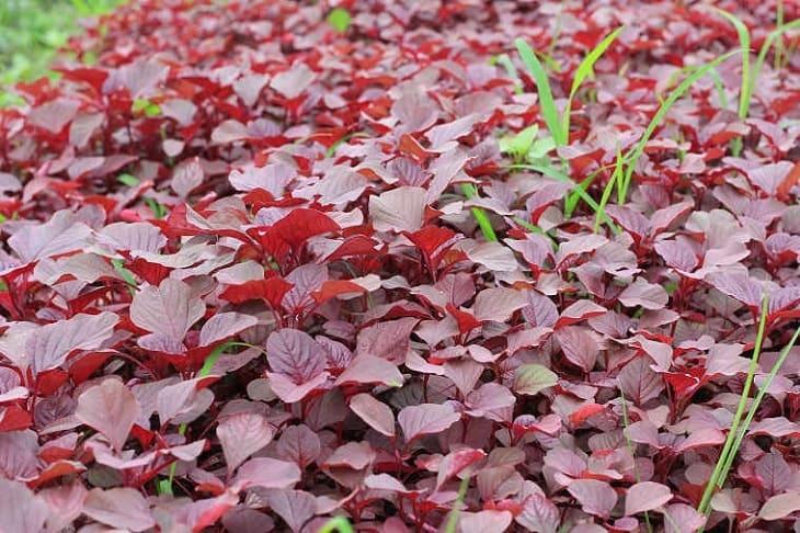 Hàm lượng chất sắt có trong rau dền khá cao, giúp bổ sung chất sắt dồi dào cho cơ thể, cải thiện vấn đề thiếu máu ở người bị suy thận mạn