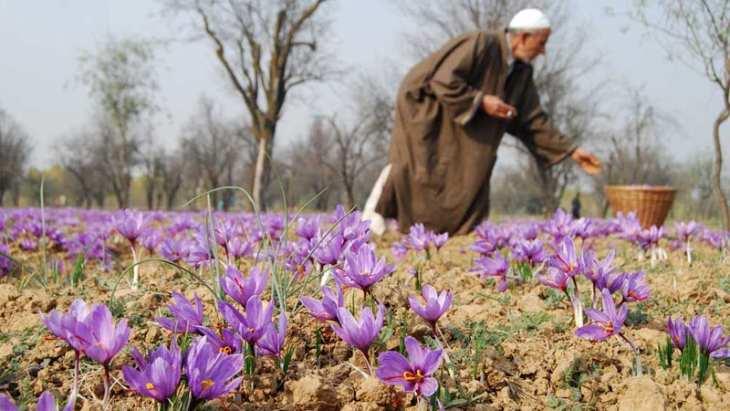 Saffron Ấn Độ được canh tác chủ yếu ở vùng Kashmir