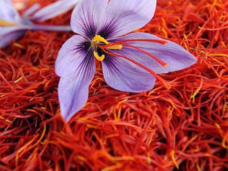 Mỗi bông hoa nghệ tây chỉ cho 3 sợi nhụy, vì vậy saffron khá khan hiếm