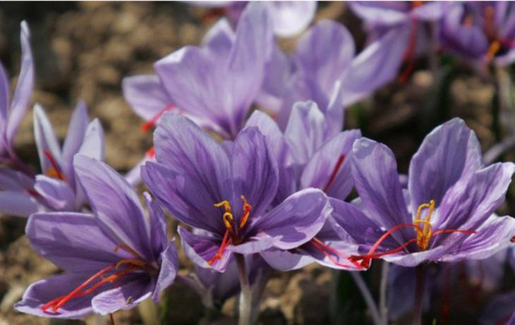 Saffron Dubai có nguồn gốc từ Iran, nhập khẩu và đóng gói tại Dubai