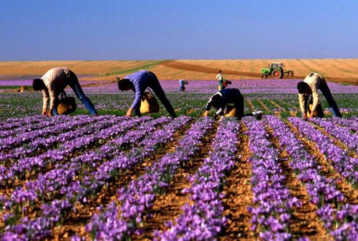 Nông trường nghệ tây nuôi trồng đạt chuẩn hữu cơ