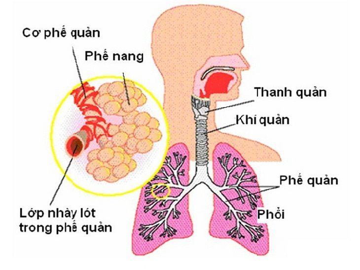 Phương pháp cầu nối chủ phổi này giúp làm giảm khả năng biến dạng phổi