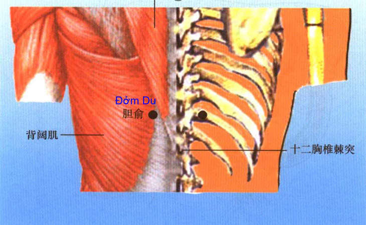 Vị trí của huyệt đạo này được xác định nằm ở 2 bên xương sống, dưới đốt xương sống thứ 10 ngang ra 2 tấc